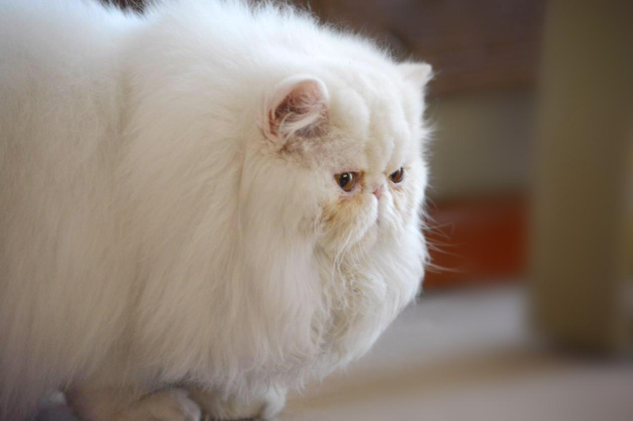Tishacats - ejemplares