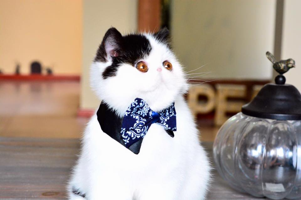 Tishacats - gato Exótico
