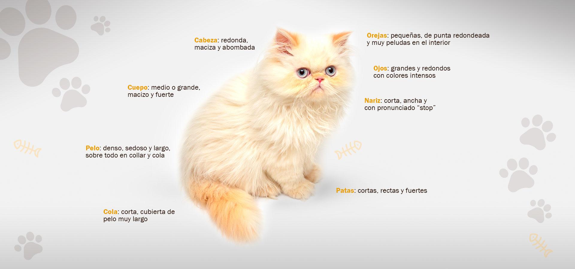 Tishacats morfología gatos persas