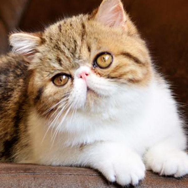 Tishacats - Gatos exóticos