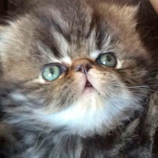 Tishacats - tabby